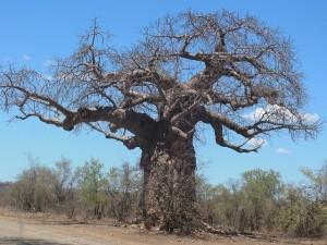 Baobab medicinal plant