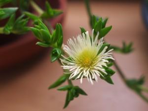 Sceletium medicinal plant